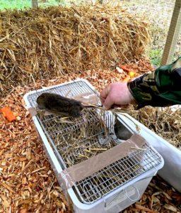 Water vole release