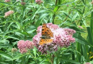 Comma on Hemp Agrimony