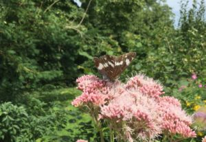 White Admiral on Hemp Agrimony