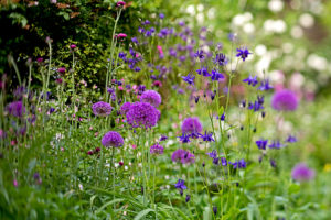 Alliums and aquilegia wildlife garden