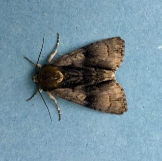 Alder Moth