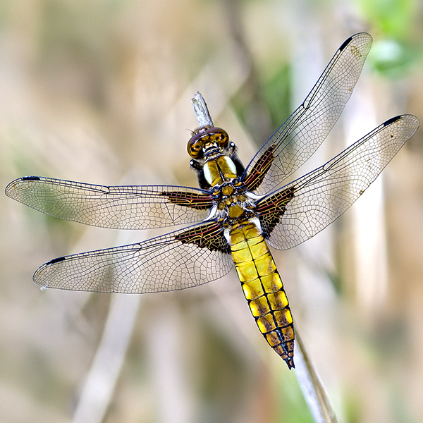 Broad-bodier Chaser female