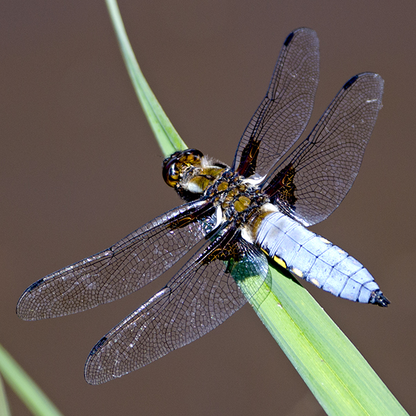 Broad-bodier Chaser male