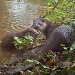 Otters on the River Glaven