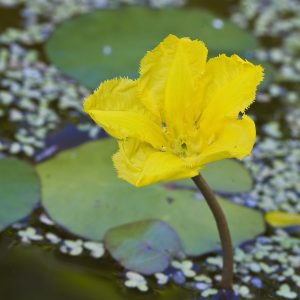 Fringed Waterlily