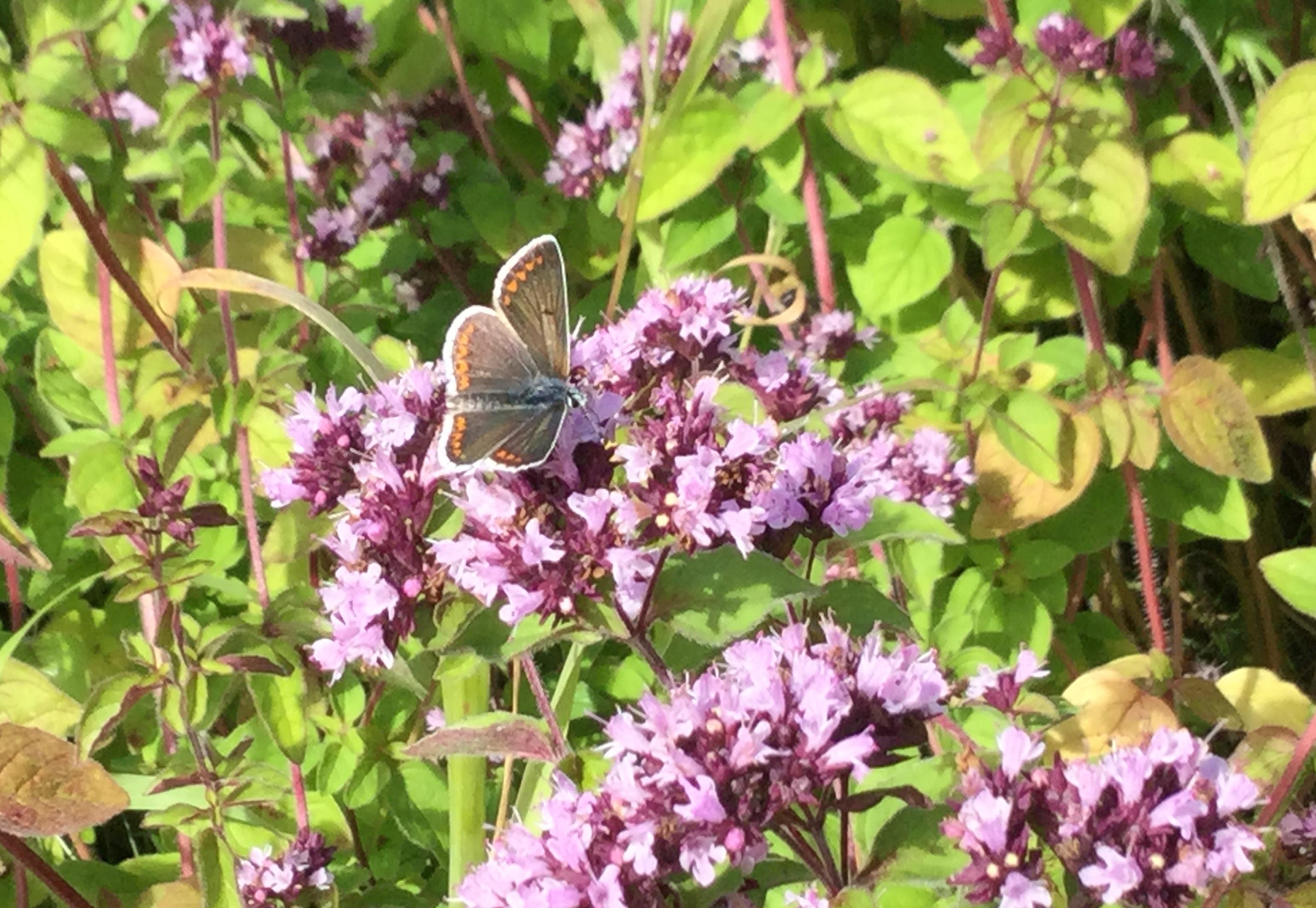 Common Blue Butterfly on WIld Marjoram