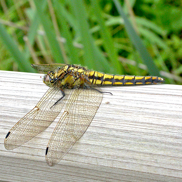 Black-tailed Skimmer female